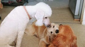 White poodle above golden retriever puppies playing